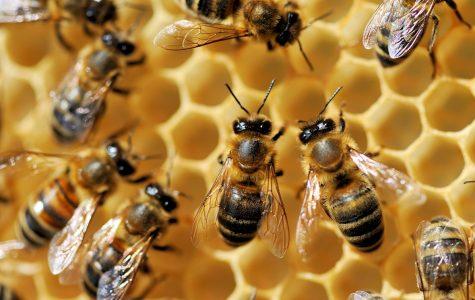 Hawaiian Bees Added to Endangered Species List